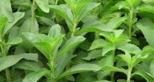 co-ngot-stevia1