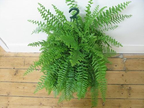 cay-lan-y Cả đời ung thư cũng không dám bén mảng tới nhà bạn nếu trồng 1 trong 10 loại cây này